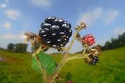 Rubus, blackberry, bramble (Rubus sectio Rubus) (Rubus fruticosus agg.) | Echte Brombeere (Rubus sectio Rubus) (Rubus fruticosus agg.) Früchte, Rubus fruticosus agg.