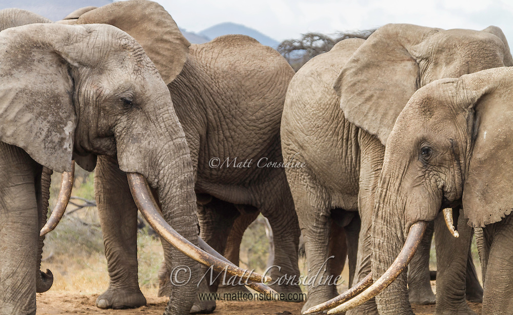 Gathering of African elephants in the Masai Mara Reserve, Kenya, Africa (photo by Wildlife Photographer Matt Considine)