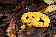 Yellow Viper juvenile<br />
