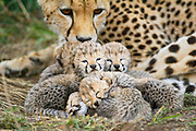 Cheetah<br /> Acinonyx jubatus<br /> 8 day old cubs curled up together in nest with mother in background<br /> Maasai Mara Reserve, Kenya