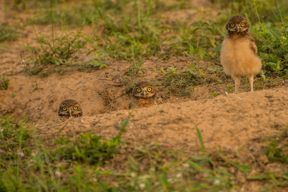 Three young burrowing owls having a peek outside their nest at sunrise, Pantanal, Brazil.