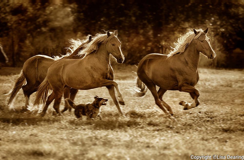 Peruvian Paso Horses, New Mexico