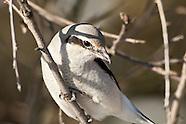 Northern Shrikes