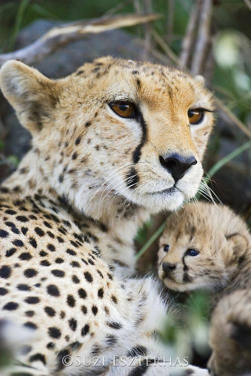 Cheetah<br /> Acinonyx jubatus<br /> Mother and 12 day old cub<br /> Maasai Mara Reserve, Kenya