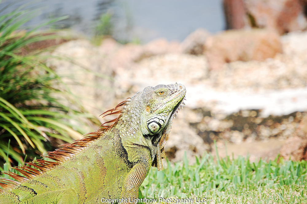 This is a photograph of a Green Iguana taken at the Morikami Museum, in Delray Beach, Florida.