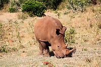White Rhinoceros in the Masai Mara reserve in Kenya Africa