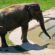 An elephant next to the man-made watering hole at the Smithsonian National Zoological Park, Washington DC.