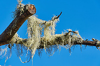 Usnea (Usnea longissima) known as old man's beard  or beard lichen growing on a tree Cherry Hill, Nova Scotia, Canada