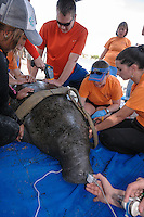 Manatee Health Assessments, Kings Bay, Crystal River, Citrus County, Florida USA. January 25, 2012 am. Researchers from several federal and state agencies work together to gather data during the manatee capture and health assessments. A manatee is captured with a brand H9. He is identified as Muddy Baron, a rehabilitated manatee released in Kings Bay on February 28, 2008. Supplemental oxygen is held up to its nostrils, while he is readied for data and sample acquisition.