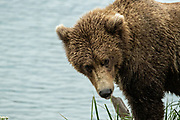 A sub-adult Brown Bear forages for salmon at Naknek Lake in Katmai National Park and Preserve September 16, 2019 near King Salmon, Alaska. The park spans the worlds largest salmon run with nearly 62 million salmon migrating through the streams which feeds some of the largest bears in the world.