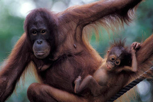 Orangutan, (Pongo pygmaeus) Portrait of mother and baby in rain forest.Northern Borneo. Malaysia. Controlled Conditons.