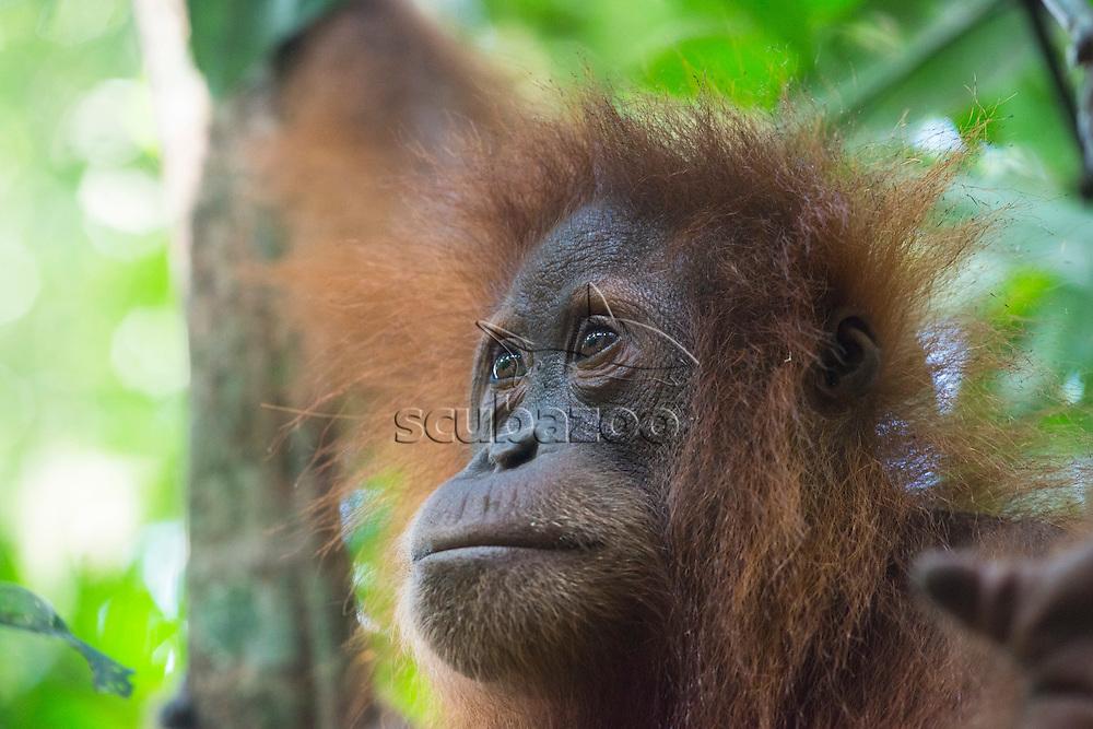 Sumatran orangutan, Pongo abelii, Gunung Leuser National Park, northern Sumatra, Indonesia.
