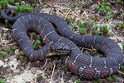 Northern Water Snake; Nerodia sipedon; NJ, Pine Barrens;