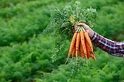 Sao Gotardo_MG, 19 de maio de 2015<br /> <br /> Fotos dos produtores de cenoura na regiao de sao gotardo.<br /> <br /> Foto: MARCUS DESIMONI / NITRO