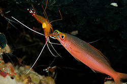 Banana fusilier (Pterocaesio pisang) having mouth cleaned by Humpback cleaner shrimp (Lysmata amboinensis) Raja Ampat, West Papua, Indonesia, Pacific Ocean | Ein Füsilier (Pterocaesio pisang) ist ans Riff gekommen um dort in einer Putzerstation sich von einer Putzergarnele (Lysmata amboinensis) das Maul säubern zu lassen-