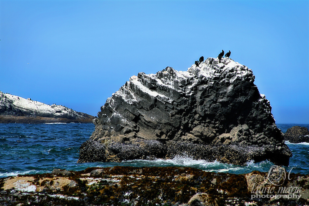 "Pelagic Cormorant seabirds on ""frosted"" rocks on the Oregon Coast"