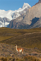 A single guanaco surveys the Patagonian country side in Torres del Paine, Chili