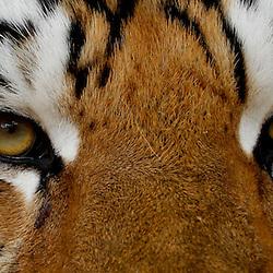 November 25, 2011; Baton Rouge, LA, USA;  LSU Tigers mascot Mike VI in his cage prior to kickoff of a game between the LSU Tigers and the Arkansas Razorbacks at Tiger Stadium.  Mandatory Credit: Derick E. Hingle-US PRESSWIRE