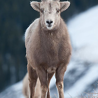 bighorn ewe wild rocky mountain big horn sheep
