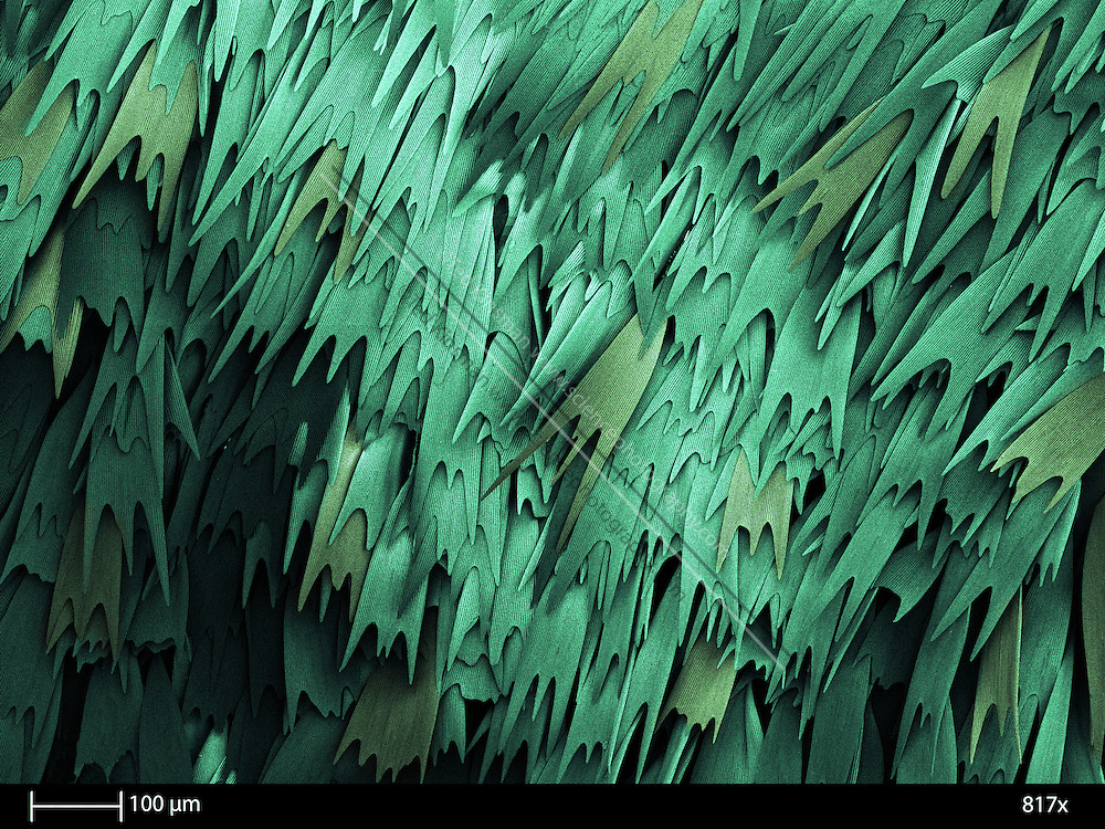 SEM of the wing of the Luna Moth (Actias luna).  The calibration bar is 100 um and was taken at 817 x..