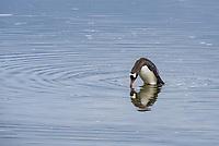 Gentoo penguin looking at reflection at Joogla Point at Port Lockroy in Antarctica.