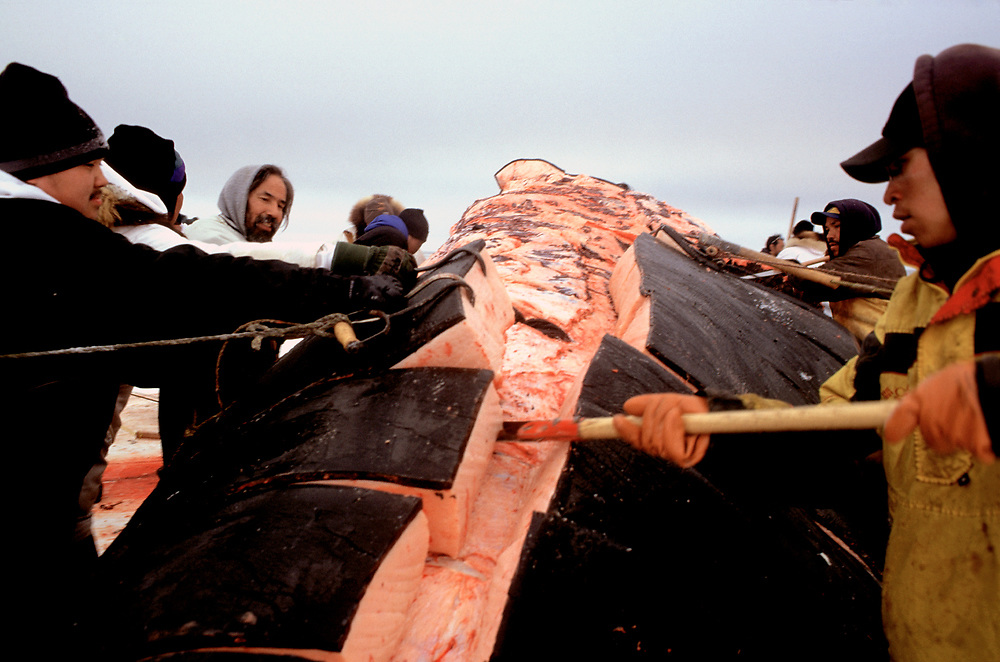 Barrow, Alaska, Naive whalers stripping bluber from the carcass of a bowhead whale