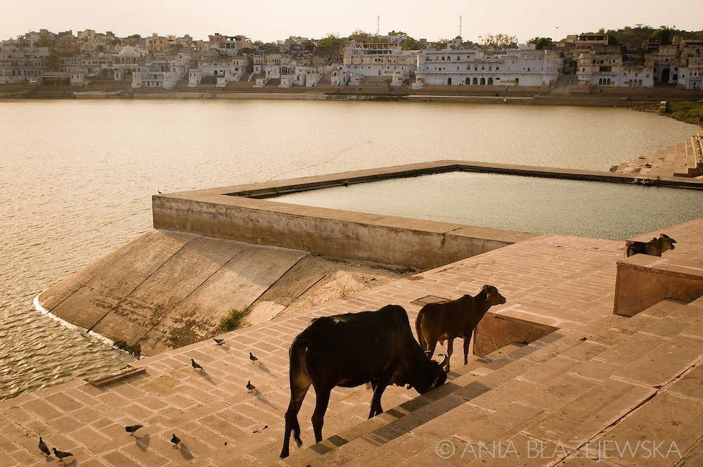 India, Puskar. Cows at the one of Pushkar ghats at sunset.
