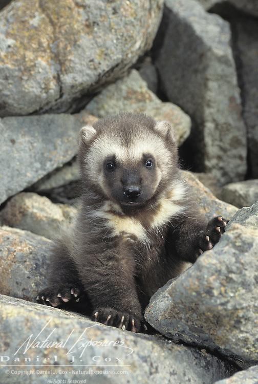 Wolverine (Gulo gulo) at an entrance to a den during early spring in the Rocky Mountains of Montana. Captive Animal