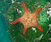 "Snorkel to see a Gulf star (orange ""starfish"") in cold water at Tagus Cove, on Isabela (Albemarle) Island, Ecuador, South America. Echinoderms (Echinodermata phylum) belong to the class Asteroidea. In 1959, Ecuador declared 97% of the land area of the Galápagos Islands to be Galápagos National Park, which UNESCO registered as a World Heritage Site in 1978. Ecuador created the Galápagos Marine Reserve in 1998, which UNESCO appended in 2001."