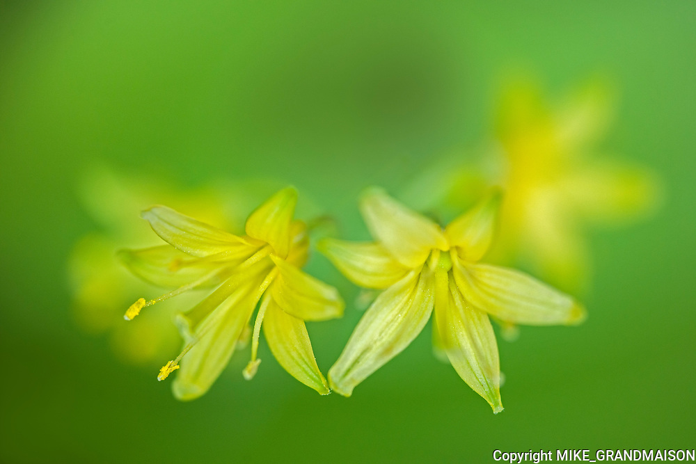 Yellow blue-bead lily (Clintonia borealis) blossoms <br /> <br /> Ontario<br /> Canada