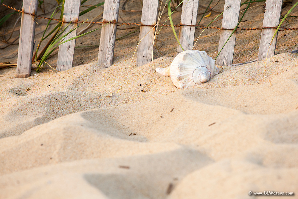 Whelk shell at the base of a sand fence.