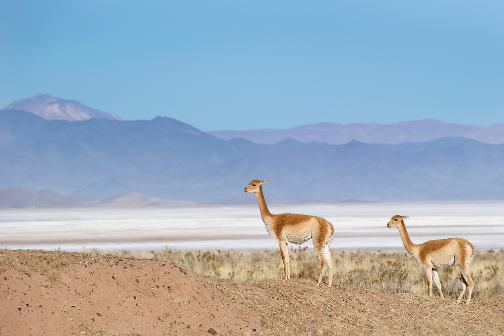 The vicu&ntilde;a (Vicugna vicugna) or vicugna[2] is one of two wild South American camelids, along with the guanaco, which live in the high alpine areas of the Andes. It is a relative of the llama, and is now believed to be the wild ancestor of domesticated alpacas, which are raised for their coat. Vicu&ntilde;as produce small amounts of extremely fine wool, which is very expensive because the animal can only be shorn every 3 years and has to be caught from the wild. When knitted together, the product of the vicu&ntilde;a's fur is very soft and warm. It is understood that the Inca valued vicu&ntilde;as highly for their wool, and that it was against the law for any but royalty to wear vicu&ntilde;a garments.<br /> Both under the rule of the Inca and today, vicu&ntilde;as have been protected by law. Before being declared endangered in 1974, only about 6,000 animals were left. Today, the vicu&ntilde;a population has recovered to about 350,000,[1] and while conservation organizations have reduced its level of threat, they still call for active conservation programs to protect population levels from poaching, habitat loss, and other threats.<br /> The vicu&ntilde;a is the national animal of Peru; its emblem is used on the Peruvian coat of arms representing the animal kingdom {source: wikipedia]