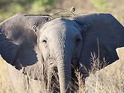 Elephant wearing twigs, Savuti Channel