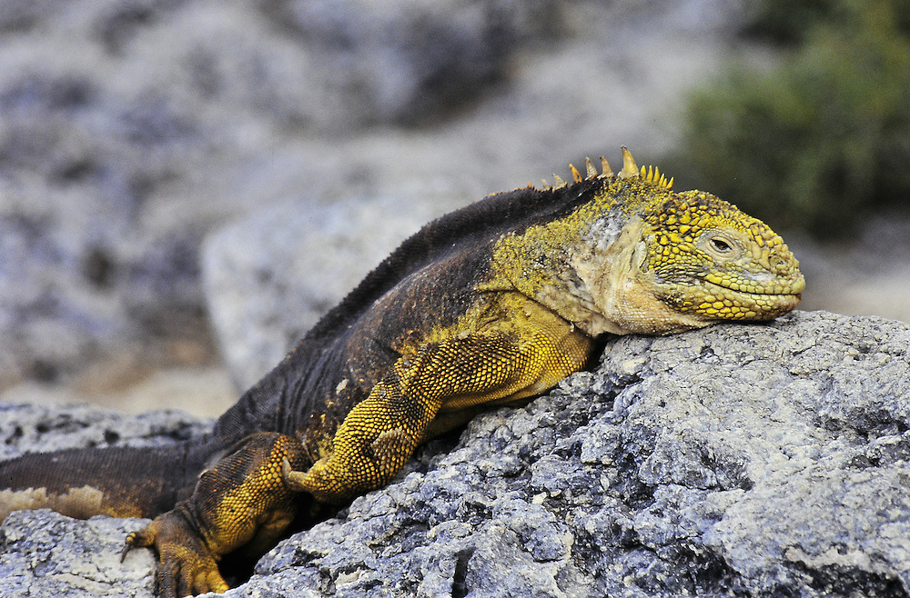 Endemic to three of the twelve islands. Galapagos Islands