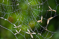 Flying ants caught in a spiders web, Addo Elephant National Park, Eastern Cape, South Africa,
