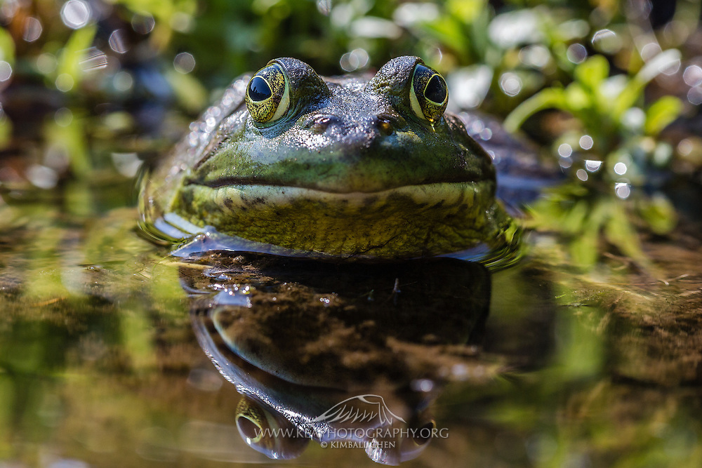 American bullfrog reflection in a pond in Acadia National Park, Maine, North America