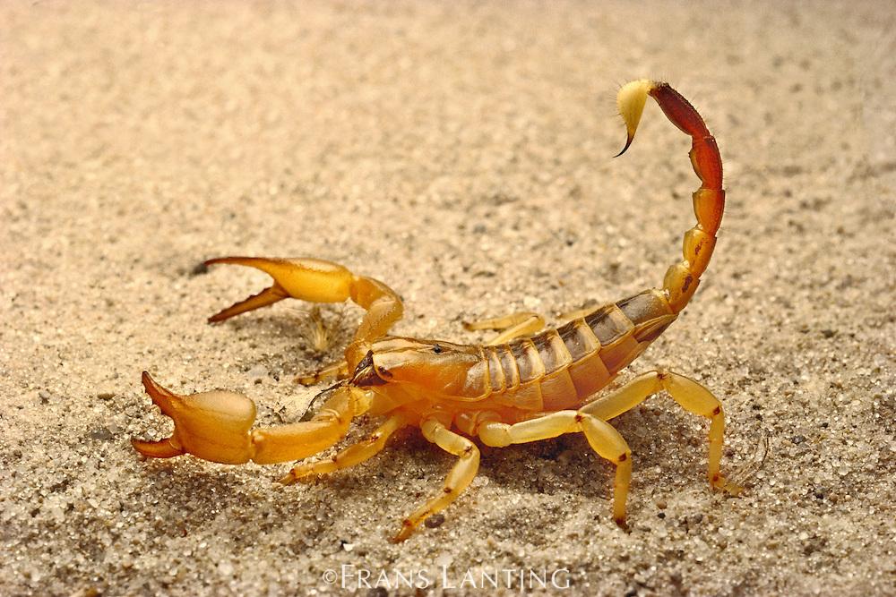 Scorpion, Opistophthalmus sp., Kalahari Desert, Botswana