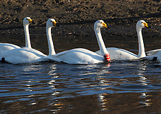 China - Whooper Swans In Rongcheng - 12 Dec 2016