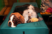 White poodle waiting surrounded by stuffed toy dogs. Cruft's 2014<br />