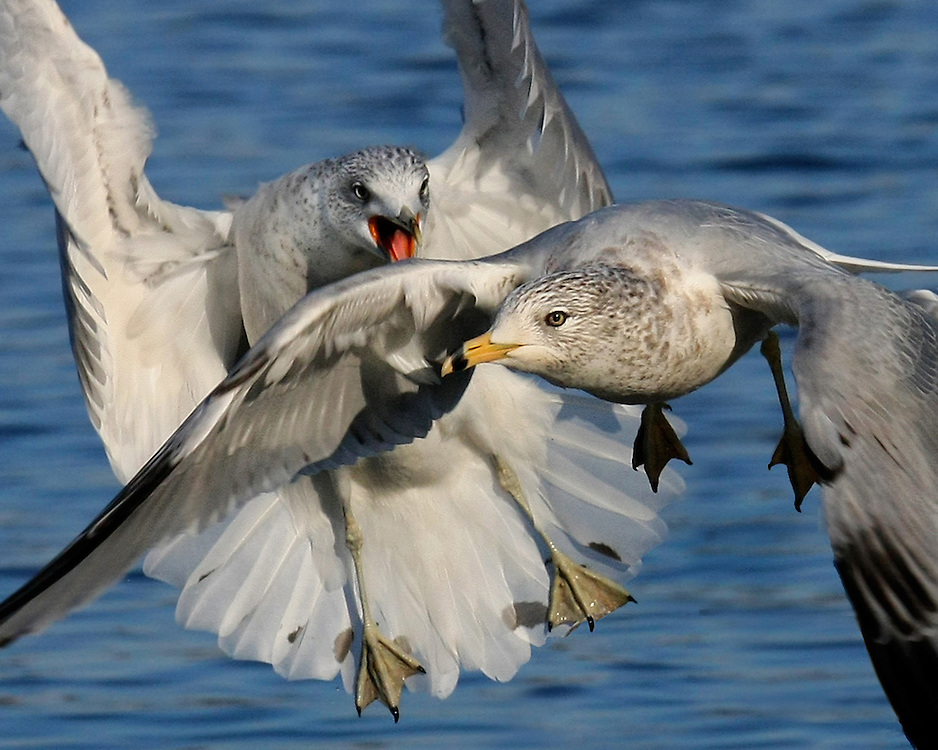These two ring billed gulls were fighting over some scraps of food.