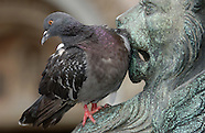 FEATURE: The Pigeon Battle