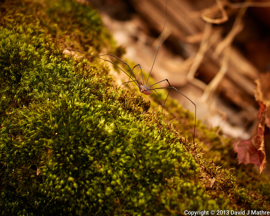 Daddy Longlegs (actually Harvestmen)  Autumn Nature in New Jersey. Image taken with a Nikon 1 V2 camera and 32 mm f/1.2 lens (ISO 160, 32 mm, f/2.5, 1/400 sec).