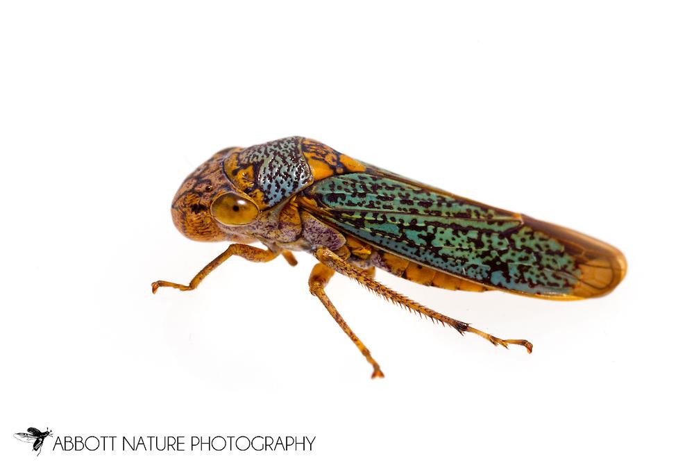 Broad-headed Sharpshooter (Oncometopia orbona)<br /> TEXAS: Jasper Co.<br /> Brookeland/Lake Sam Rayburn @ 505 Co Rd 212<br /> 21.July.2015<br /> J.C. Abbott #2768 &amp; K.K. Abbott