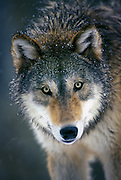 Portrait of a grey wolf (Canis lupus) captive - Washington Range: North America and Eurasia.