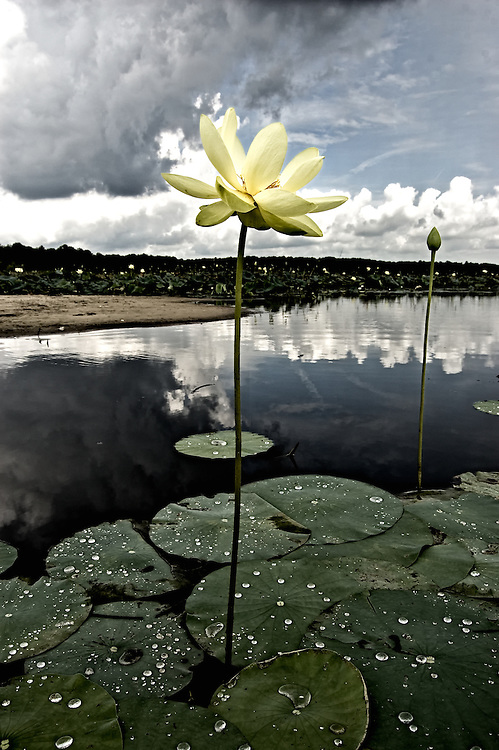 Dramatic photograph of a lotus with approaching storm.