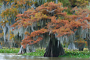 Fall Cypress Dauterive Lake