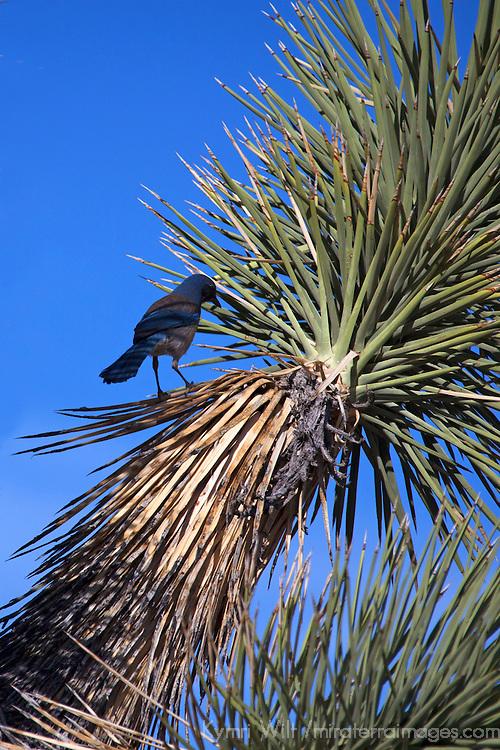 USA, California, Joshua Tree. Western Scrub jay on Joshua Tree.