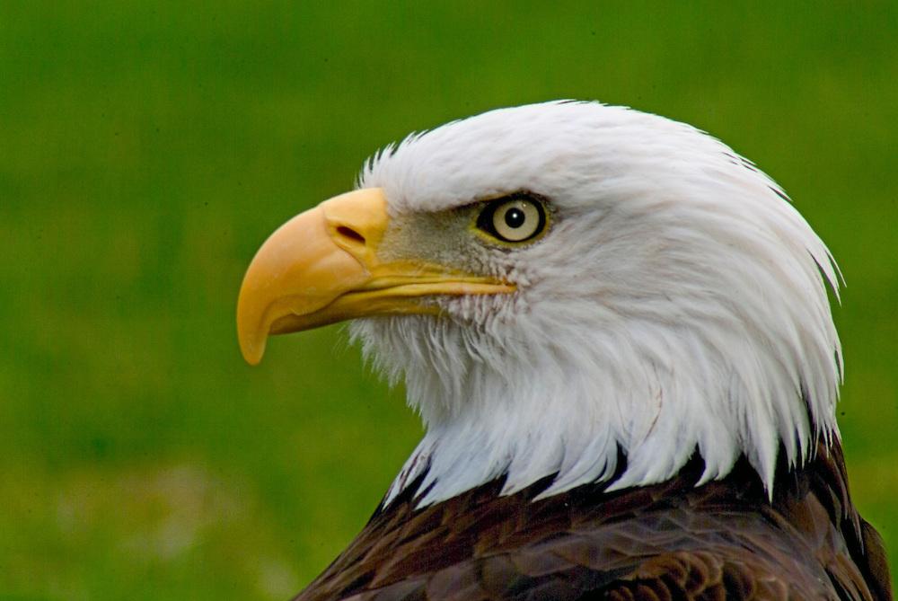 Young Bald Eagle at Woodland Park Zoo