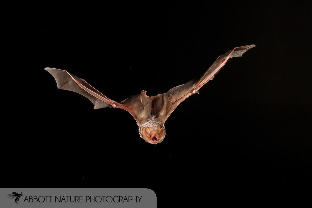 Eastern Red Bat (Lasiurus borealis) female flying; shots taken with high speed flash<br /> TEXAS: San Saba Co.<br /> Pecan Orchard outside of San Saba<br /> 25.July.2009<br /> J.C. Abbott &amp; K.K. Bauer