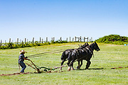 Draft Horses plowing ground in preparation for new vineyard planting for Mad Viollets wine, Willamette Valley, Oregon